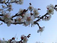 後楽園の見事な梅